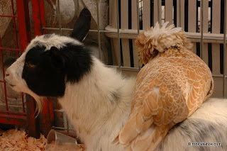 chicken siting on a goat