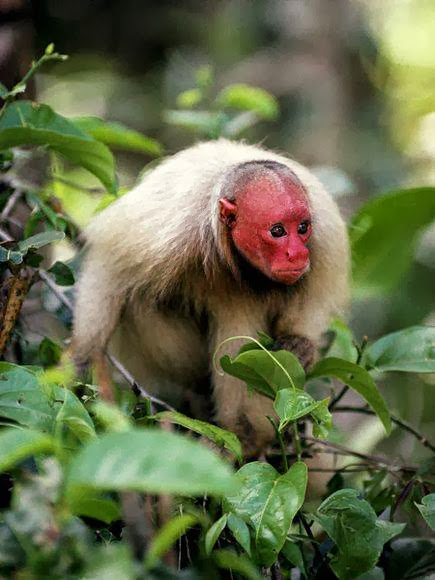 Red-Ukari-Red-Monkeys-Funny-Animals-Pics-Amazing-Animals-Healthy-Monkeys-Unique-Monkeyspics
