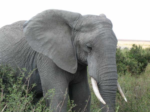 tiere wissen zusammensto mit elefant. Black Bedroom Furniture Sets. Home Design Ideas