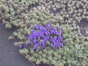 Viola Aetnensis  (Viola dell'Etna)