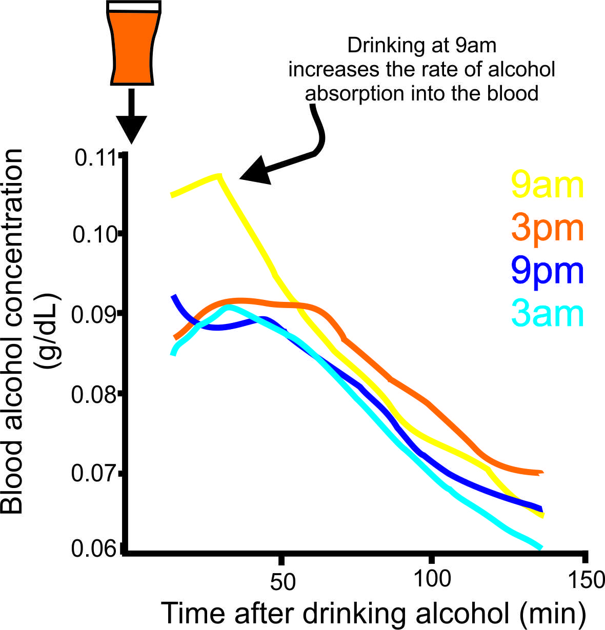 Blood alcohol levels are higher when drinking during the day adapted