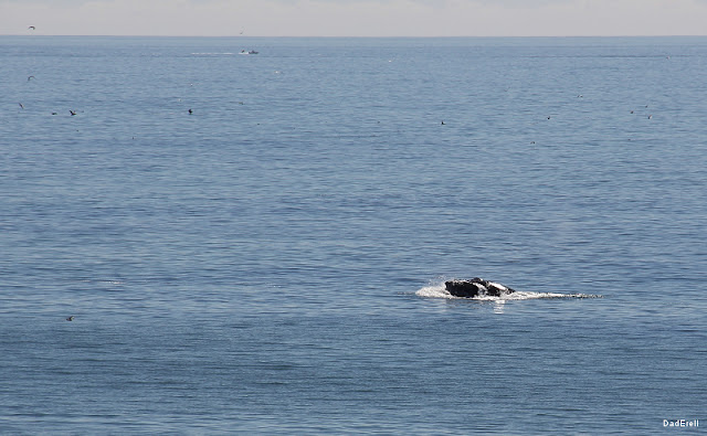 Baleine sautant dans l'Océan Pacifique à Half-Moon-Bay