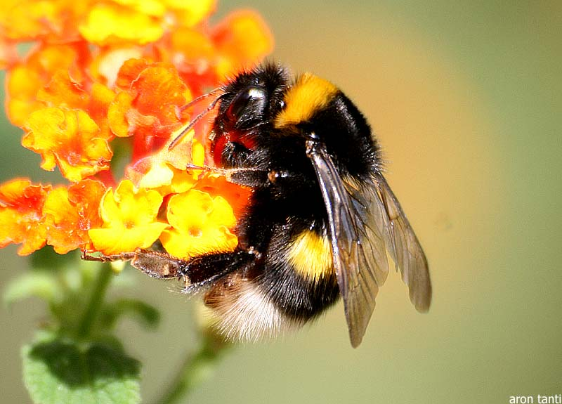 Bumble Bee Facts and L...