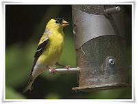 Goldfinch Animal Pictures