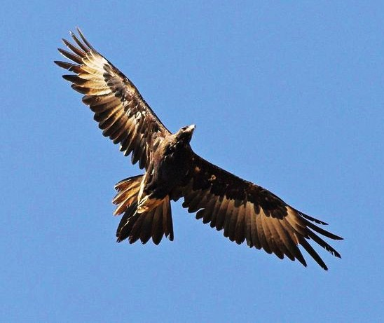 Pin Pin Wedge Tailed Eagle Tattoo Designs On Pinterest on ...