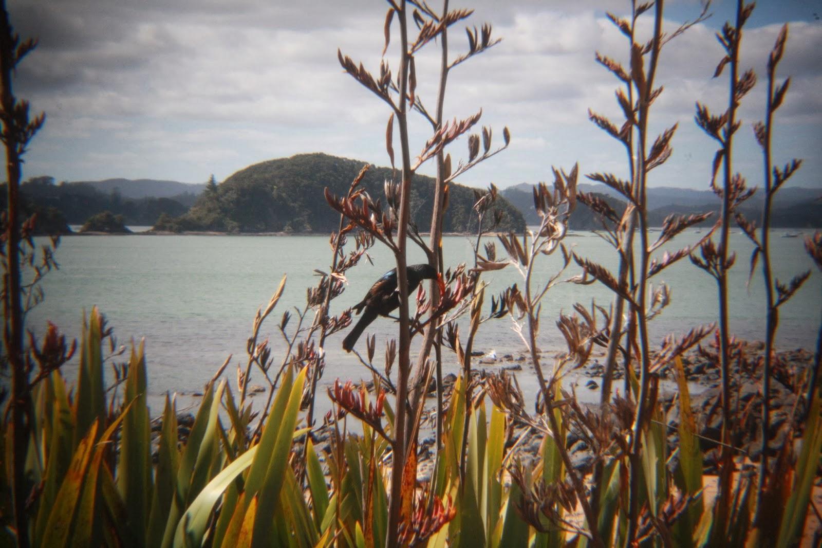 A tui feasts on flax at Waitangi.
