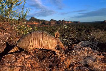 mulita comun su habitat alimento y registro fosil Dasypus septemcinctus