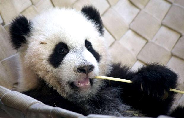 Cute baby panda pictures funny photos funny mages gallery baby panda voltagebd Image collections
