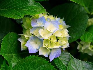 Jual Pohon Hortensia | Bunga Rotensia