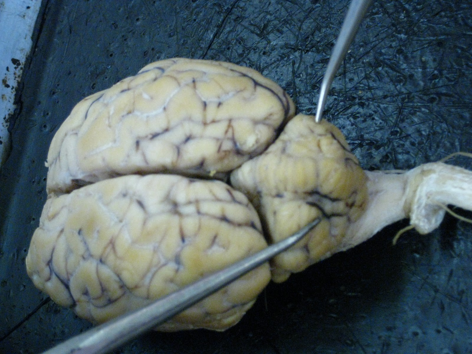 Sheep for Brains: Sheep Brain - External gross anatomy