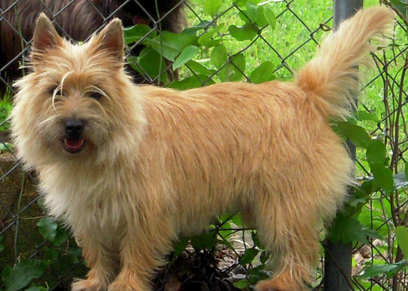 Wheaten Terrier Haircut 9631503 Dewingerdfo