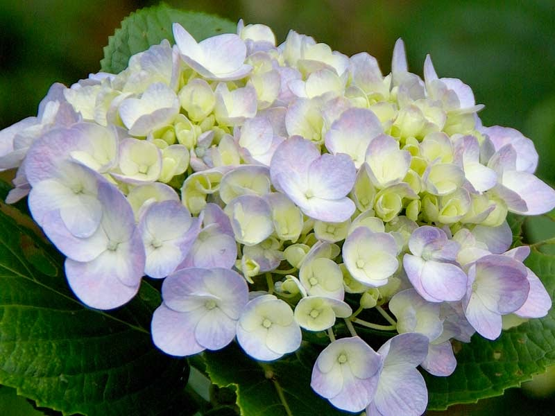 Hydrangea flowers,close up