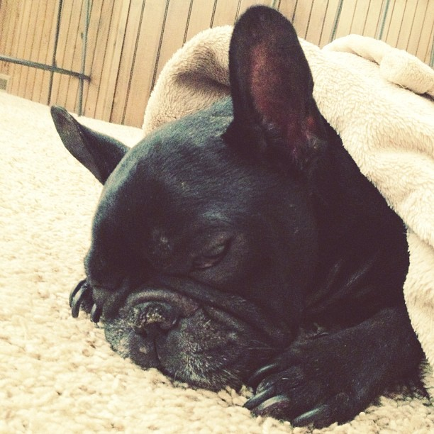 LeRoy the frenchie