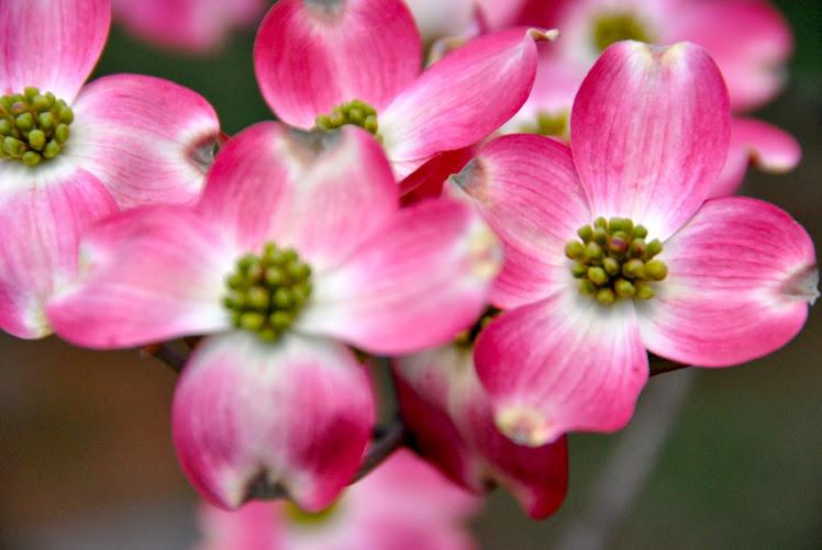 nc pink dogwood
