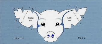 standard notches in the pigs right ear are the 1 notch located on the bottom of the ear near the pigs head meanwhile the 3 notch is located on the side