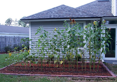 Sunflower Plants Growing in my Garden June 2, 2013