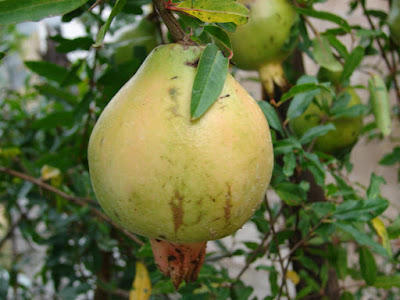 Pomegranate fruit with tree