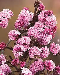 Calin roz (Viburnum x bodnantense