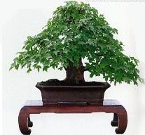 Bonsai: cuidar y cultivar