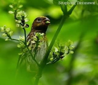 burung kenari melayu atau serinus estherae atau kenari gunung atau mountain serin
