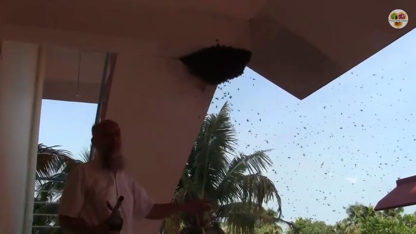 Lebah tualang apis dorsata Malaysia