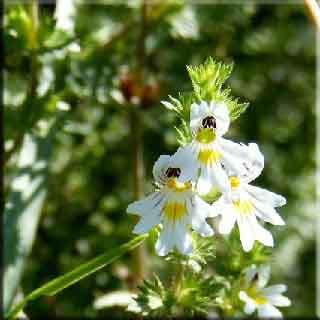 göz nezlesi    göz   gözlük  sağlık  bitki   güzel   koku   bahçe   çiçek   bakım   başlık   cilt   ten