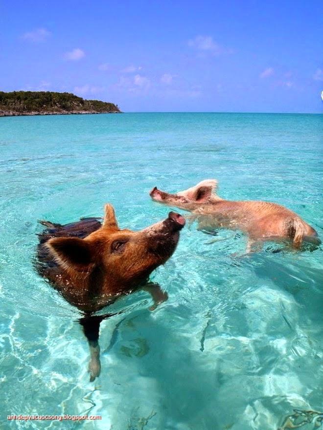 Đảo heo Big Major Spot – Bahamas 9