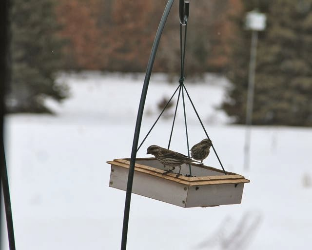 female purple finches at feeder