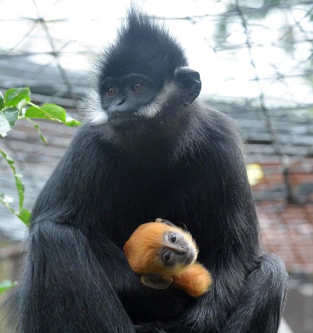 Monyet hitam lahirkan anak warna halia di Zoo London