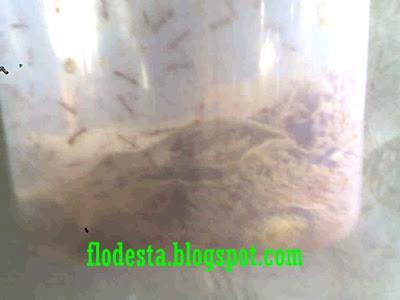 Mengapa Semut Rangrang  Tidak Mau Bersarang
