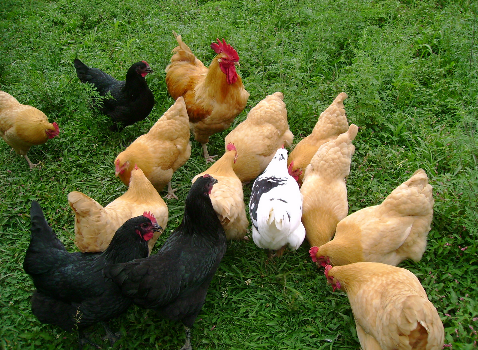 5 best laying hens for your backyard from home wealth