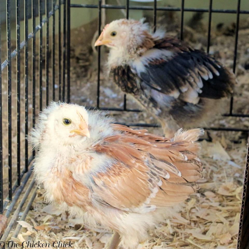 Wheaten Ameraucana Chicks