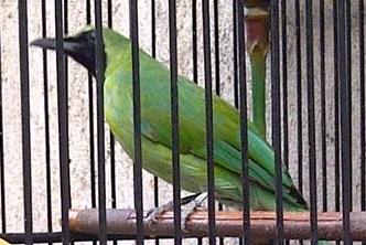 budidaya burung tips cara merawat cucak hijau mini agar
