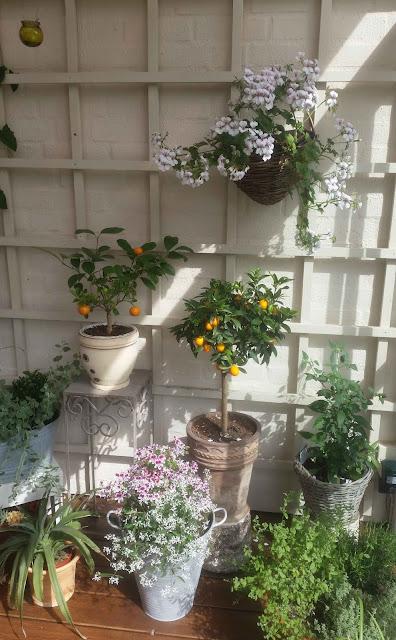citrus, pelargoner, chili och örtkryddor