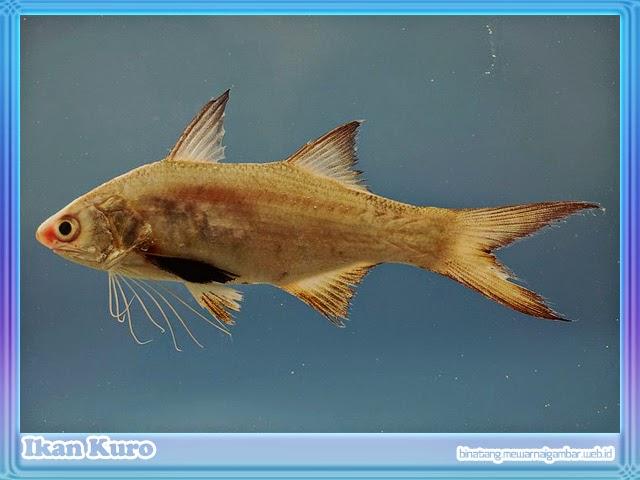 gambar ikan kuro
