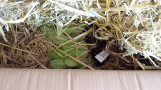Lettuce plants under first layer of straw