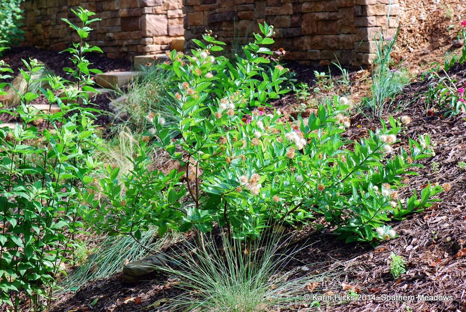 Button bush 'Cephalanthus occidentalis'