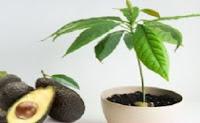 tanaman hias dalam pot buah ini juga sering dikenal dengan nama ALPUKAT, Avokado, Apokad, Alpokad dll