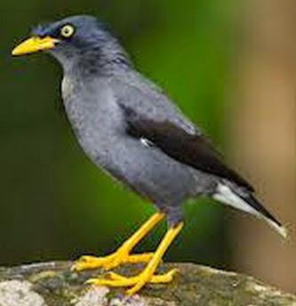 Gambar Cara Merawat Burung Jalak Nias