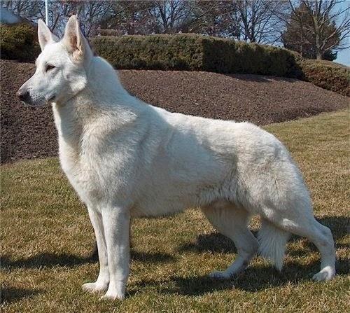 See more White German Shepherd http://cutepuppyanddog.blogspot.com/