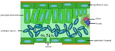 jaringan epidermis pada tumbuhan