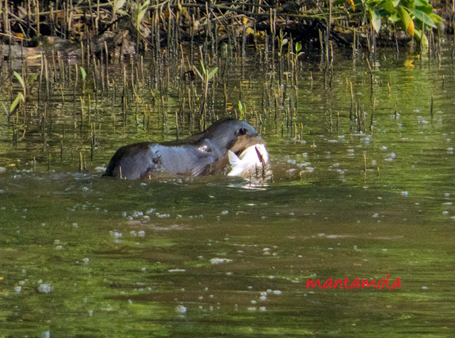 Smooth-coated otter (Lutrogale perspicillata)