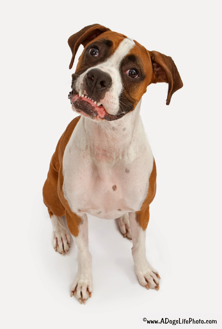 Cute Boxer with head tilting