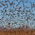 Vì sao châu chấu bay thành đàn?