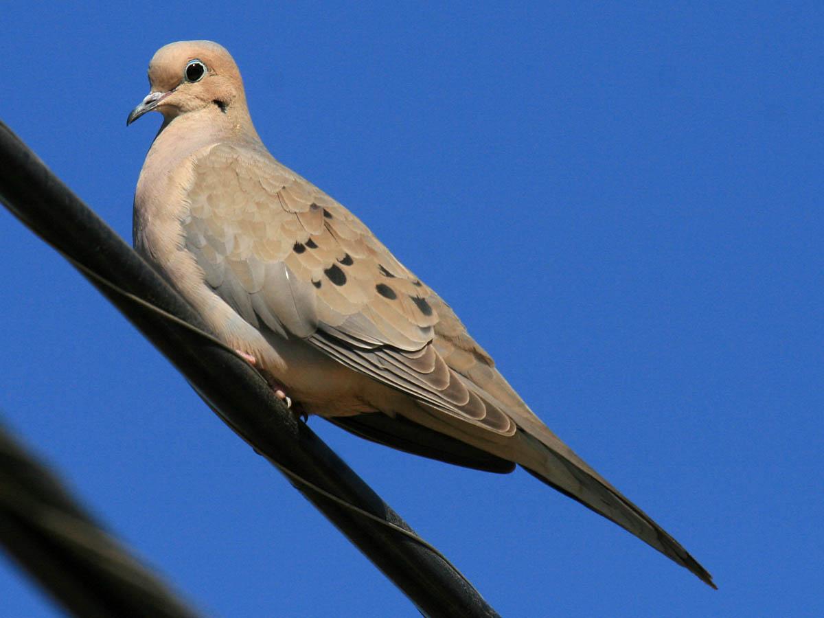 birds to know in san diego introduction backyard greg in san