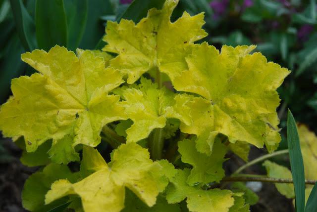 Heuchra villosa 'Citronella' (a chartreuse foliage Coral bell)