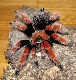 brachypelma smithi, brachypelma vagans, brachypelma albopilosum, brachypelma emilia, brachypelma boehmei, brachypelma albiceps, brachypelma kahlenbergi, brachypelma auratum, brachypelma annitha, brachypelma klaasi, brachypelma angustum, brachypelma albiceps for sale, brachypelma auratum care sheet, brachypelma aureoceps, brachypelma albopilosum lifespan, brachypelma annitha for sale, brachypelma a vendre, brachypelma baumgarteni, brachypelma boehmei for sale, brachypelma boehmei care, brachypelma boehmei sling, brachypelma baumgarteni for sale, brachypelma boehmei for sale uk, brachypelma boehmei handling, brachypelma boehmei sling care sheet, brachypelma boehmei poison, brachypelma cf. vagans, brachypelma care sheet, brachypelma chinese, brachypelma collection, brachypelma crossbreed, brachypelma chaco, brachypelma cf angustum, brachypelma care, brachypelma classification, brachypelma curly hair, brachypelma distribution, brachypelma albopilosum diet, brachypelma albopilosum description, brachypelma emilia docile, what do brachypelma smithi eat, brachypelma welt der spinnen, cuidados de brachypelma vagans, ficha de brachypelma smithi, brachypelma druhy, brachypelma smithi häutung dauer, brachypelma epicureanum, brachypelma emilia for sale, brachypelma emilia care, brachypelma emilia handling, brachypelma embrithes, brachypelma epic, brachypelma emilia growth rate, brachypelma epicureanum tarantula, brachypelma emilia sling, brachypelma for sale, brachypelma fossorium, brachypelma family, brachypelma fireleg, brachypelma florida, brachypelma fantasy, brachypelma fajok, female brachypelma smithi, female brachypelma smithi for sale, brachypelma smithi for sale, brachypelma genus, brachypelma grammostola, brachypelma growth rate, brachypelma genus list, brachypelma geniculata, brachypelma geschlechtsbestimmung, brachypelma smithi growth rate, brachypelma albopilosum growth rate, brachypelma boehmei growth rate, brachypelma hamorii, brachypelma hybrid, brachypelma humidity, brachypelma habitat, brachypelma herkunftsnachweis, habitat brachypelma smithi, harga brachypelma smithi, handling brachypelma smithi, brachypelma boehmei habitat, brachypelma albopilosum habitat, brachypelma identification, brachypelma vagans info, brachypelma smithi information, brachypelma vagans in florida, brachypelma smithi iucn, brachypelma emilia info, brachypelma klaasi information, brachypelma auratum breeding information, brachypelma albopilosum info, brachypelma auratum info, brachypelma jad, jual brachypelma smithi, jual brachypelma boehmei, juvenile brachypelma smithi, jual brachypelma emilia, jual brachypelma auratum, jual brachypelma vagans, jenis brachypelma, jual brachypelma albopilosum, jual brachypelma, brachypelma klaasi for sale, brachypelma klaasi care sheet, brachypelma klaasi care, brachypelma klaasi tarantula, brachypelma klaasi growth rate, brachypelma klaasi wikipets, brachypelma klaasi breeding, brachypelma klaasi temperament, brachypelma list, largest brachypelma, brachypelma species list, brachypelma boehmei lifespan, brachypelma smithi lifespan, brachypelma vagans lifespan, luftfeuchtigkeit brachypelma smithi, lebenserwartung brachypelma smithi, lebenserwartung brachypelma albopilosum, brachypelma meaning, brachypelma mesomelas, brachypelma mating, brachypelma mexico, brachypelma male or female, brachypelma male lifespan, brachypelma margonem, brachypelma metallica, male brachypelma smithi lifespan, male brachypelma smithi, brachypelma nl, brachypelma smithi natural habitat, brachypelma albopilosum natural habitat, brachypelma vagans natural habitat, brachypelma auratum natural habitat, brachypelma albopilosum not eating, brachypelma common names, brachypelma albiceps common name, nahrung brachypelma smithi, brachypelma smithi nie chce jeść, brachypelma boehmei or emilia, list of brachypelma species, types of brachypelma, brachypelma smithi male or female, brachypelma albopilosum male or female, list of brachypelma, brachypelma boehmei male or female, list of brachypelma tarantulas, brachypelma smithi opis, wszystko o brachypelma smithi, brachypelma pronunciation, brachypelma pallidum, brachypelma parahybana, brachypelma pulchra, brachypelma pulchripes, brachypelma pdf, brachypelma papiery, brachypelma ptasznik, brachypelma smithi price, brachypelma species photos, brachypelma ruhnaui, brachypelma ruhnaui care sheet, brachypelma ruhnaui care, brachypelma rosea, brachypelma rosea haltung, brachypelma ruhnaui albiceps, brachypelma rosea wikipedia, rarest brachypelma, rare brachypelma species, brachypelma sabulosum, brachypelma schroederi, brachypelma smithi care, brachypelma species, brachypelma smithi bite, brachypelma smithi size, brachypelma smithi female for sale, brachypelma smithi enclosure, brachypelma s, brachypelma tarantula, brachypelma tarantula list, brachypelma tarantula species, brachypelma tarantula family, brachypelma temperature, brachypelma terrarium, brachypelma te koop, tarantula brachypelma boehmei, tarantula brachypelma emilia, tarantula brachypelma albopilosum, brachypelma smithi urticating hairs, brachypelma smithi unterschied männchen weibchen, brachypelma smithi uk, brachypelma vagans ugryzienie, brachypelma sp isla utila, brachypelma utila, brachypelma ukąszenie, brachypelma vagans ukaszenie, brachypelma smithi umsetzen, acheter une brachypelma smithi, brachypelma verdezi, brachypelma vagans care, brachypelma vagans habitat, brachypelma vagans growth rate, brachypelma vagans florida, brachypelma vagans handling, brachypelma vagans for sale, brachypelma vagans temperament, brachypelma wiki, brachypelma website, brachypelma albopilosum wiki, brachypelma smithi wikipets, brachypelma auratum wiki, brachypelma vagans wikipets, brachypelma boehmei wikipets, brachypelma emilia wikipets, brachypelma auratum wikipets, brachypelma verdezi x vagans, brachypelma boehmei x smithi, brachypelma albopilosum x vagans, brachypelma smithi x boehmei, brachypelma smithi x brachypelma boehmei, brachypelma boehmei x brachypelma emilia, brachypelma youtube, brachypelma sp yucatan, brachypelma vagans youtube, brachypelma emilia youtube, brachypelma smithi 1 year old, brachypelma smithi youtube, brachypelma sp yaxchilan, brachypelma boehmei youtube, brachypelma albopilosum youtube, brachypelma albiceps youtube, grammostola aphonopelma y brachypelma, brachypelma zucht, brachypelma smithi züchter, brachypelma vagans zucht, brachypelma smithi zvliekanie, brachypelma smithi zu verkaufen, brachypelma smithi zu kalt, brachypelma züchter, brachypelma emilia zucht, brachypelma annitha züchter, zaświadczenie brachypelma, 0.1 brachypelma emilia kaufen, brachypelma smithi 0.1 kaufen, brachypelma smithi 1 cm, 1.0 brachypelma boehmei, 1.0 brachypelma smithi, brachypelma smithi sprzedam 2013, brachypelma smithi sprzedam 2014, brachypelma smithi sprzedam 2012, brachypelma boehmei sprzedam 2013, brachypelma smithi 2013, brachypelma smithi 2 cm, brachypelma vagans 2 vedléses, brachypelma smithi 3 cm, brachypelma smithi 3 fh, brachypelma smithi 3dc, brachypelma smithi l2/3, brachypelma smithi 4 jahre alt, brachypelma smithi 5 svlek, brachypelma albopilosum l5/6, brachypelma albopilosum l7, brachypelma smithi 8 svlek,