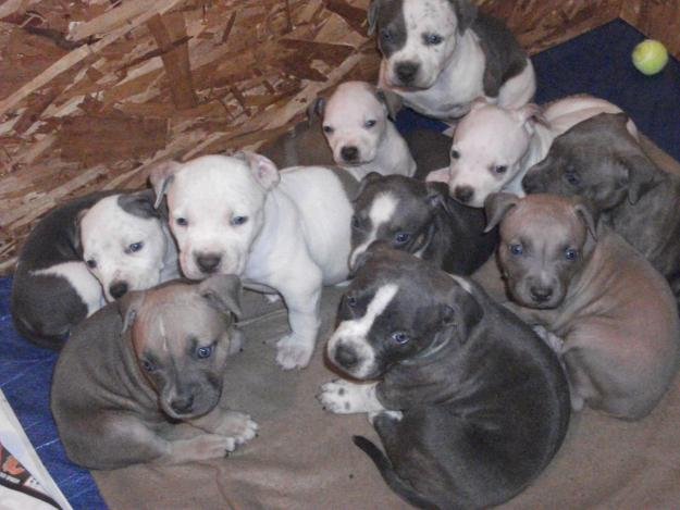 Cute Puppy Dogs American Pitbull Terrier Puppies