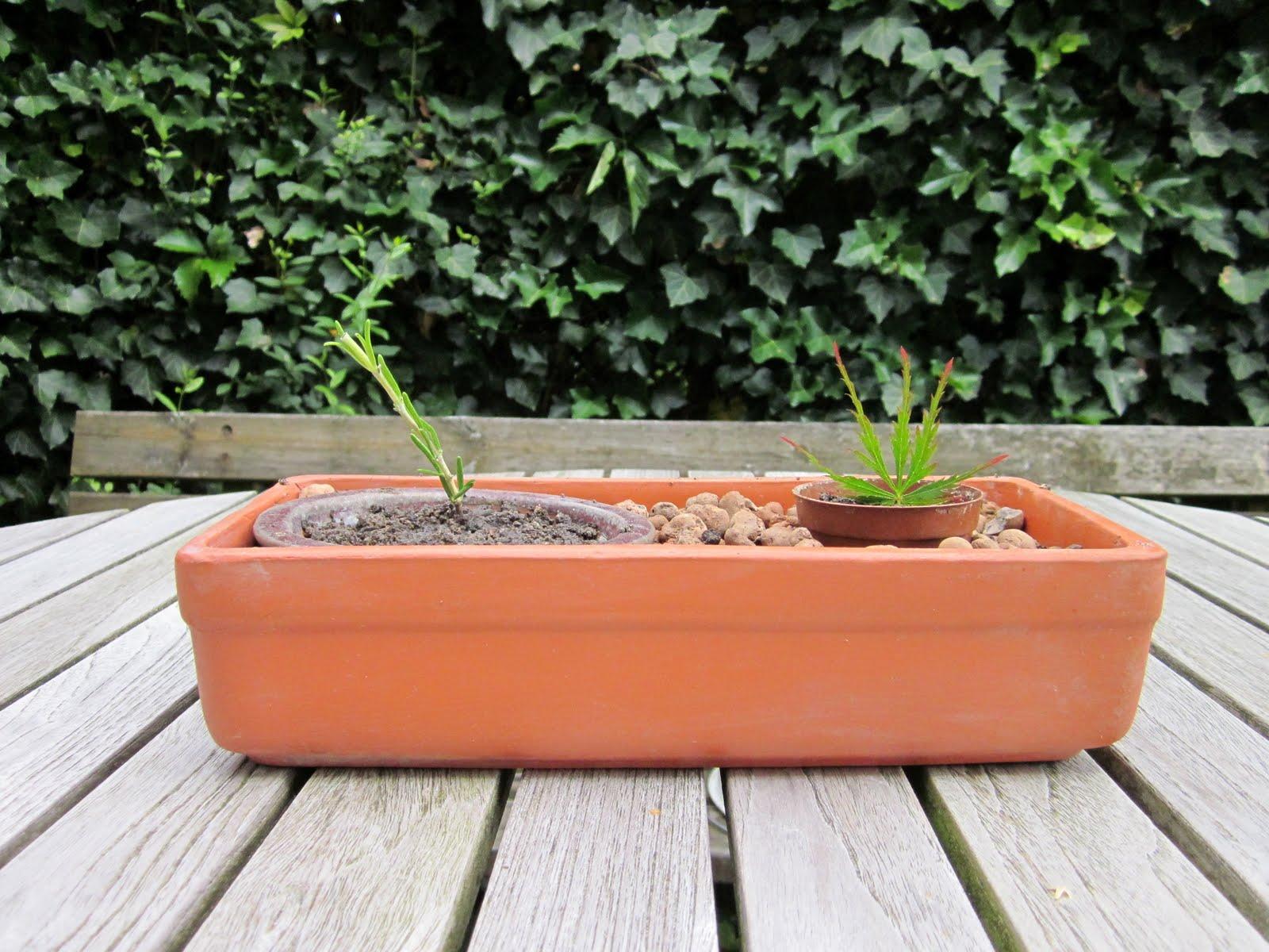 mein bonsai blog experiment schlitzahorn und rosmarin. Black Bedroom Furniture Sets. Home Design Ideas