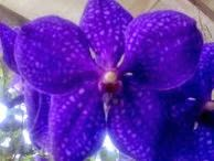 manfaat bunga anggrek, khasiat bunga anggrek, kandungan bunga naggrek, bunga naggrek